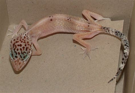 Stick Tail Disease | Leopard Gecko Care Packet
