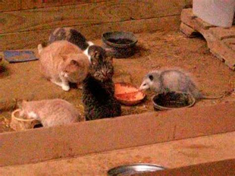 Opossum eating with cats in barn - YouTube