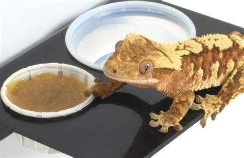 Crested Gecko Food | ReptiFiles Crested Gecko Care Packet